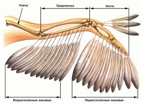 Маховое  перо птицы